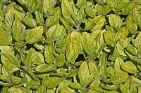Wild marjoram or Oregano (Origanum vulgare)