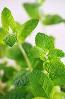 Fresh mint close_up