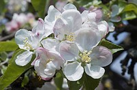 Apple blossom (Malus), Germany