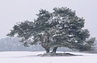Old pine (Pinus sylvestris)
