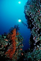 Scuba diver and a coral reef, Maldive Islands, Indian Ocean