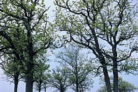 Northern red oak tree with spring foliage on Manitoulin Island, Ontario, Canada