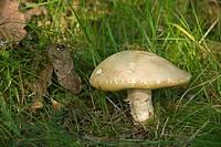 Summer Cep mushroom (Boletus reticulatus)
