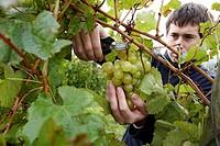 White grapes of ´txakoli´, vineyards, Olaberria, Gipuzkoa, Euskadi, Spain