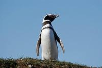 Magellanic Penguin (Spheniscus magellanicus), La Isla Magdalena, Patagonia, Chile, South America