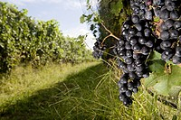 Black grapes on vines in vineyard