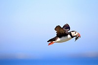 Atlantic Puffin (Fratercula arctica) in flight, Farne Islands, England.