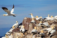 Northern gannets (Sula bassana or Morus bassanus). Bass Rock, Scotland