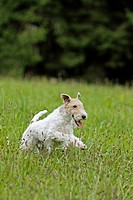 Wire_haired Fox Terrier dog _ running on meadow