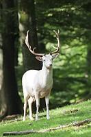 Fallow Deer albino _ standing / Dama dama