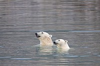 two polar bear in water / Ursus maritimus