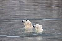 two polar bear in water / Ursus maritimus