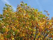 Aesculus hippocastanum, Rosskastanien, horse chestnuts