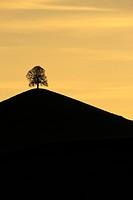 Tree on a moraine hill, Hirzel, Switzerland, Europe