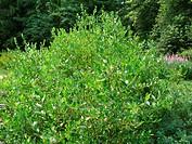 Salix starkeana, Bleiche Weide, willow
