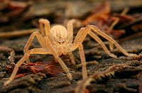 Green Huntsman Spider (Micrommata virescens), still pale brown juvenile