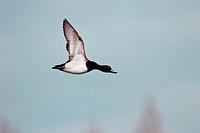 Tufted Duck in flight