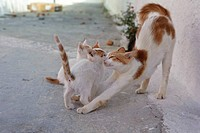 Cat mother with kittens, Arkassa, Karpathos, Aegean Islands, Aegean Sea, Greece, Europe