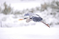 Grey Heron Ardea cinerea flying in winter