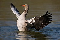 Greylag Goose (Anser anser) in mating season