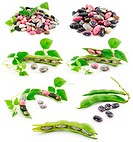 Collection of Ripe Haricot Beans with Seed Isolated