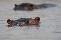 Hippos or Hippopotami (Hippopotamus amphibius), Chobe National Park, Botswana, Africa