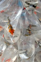 Colorful fish trapped in small plastic bags with water, at Bangkok, Thailand, Southeast Asia, Asia