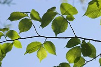 Leaves Wych Elm _ Ulmus glabra _ Germany