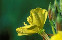 Common eveningprimrose Evening Primroses Oenothera biennis medicinal plant Germany