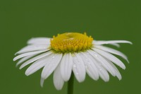 Flower of lawndaisy _ Bellis perennis