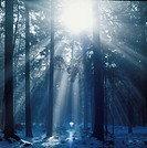 Sunbeam in misty spruce forest Germany