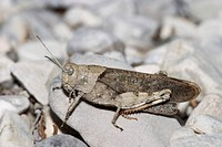 Rattle grasshopper Psophus stridulus _ Upper Bavaria