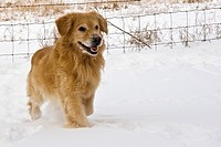 Golden Retriever dog in snow