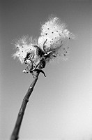Common milkweed Asclepias syrica seed pods against a clear sky in black and white