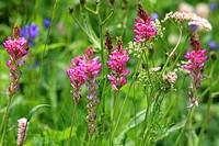 fiori alpini, giardino botanico alpino paradisia, parco nazionale del gran paradiso, cogne, valle d´aosta, italia