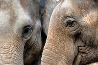 Two Indian elephants closeup
