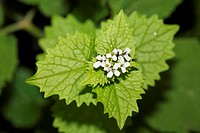 Garlic Mustard, Alliaria petiolata