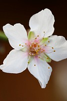 Almond blossom close_up