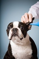Portrait of dog getting ears cleaned