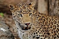 Leopard (Panthera pardus), portrait, Ranthambore National Park, Rajasthan, India, Asia