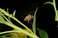 Drosophila Drosophilidae / Fruit Fly Drosophilidae