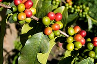 Guatemala. Coffee fruit.