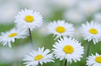 Daisy Bellis perennis, close up  Italy, Europe