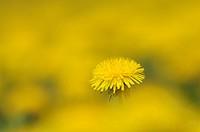 Dandelion Taraxacum officinale, spring  Bavaria, Germany, Europe