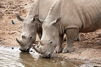 2 White Rhinoceroses, Ceratotherium simum, drinking water, Pilanesberg National Park, South Africa
