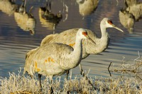 Sandhill Crane at The Bosque del Apache Wildlife refuge, New Mexico