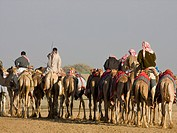 UAE, Al Ain. Rear view of riders and camels going to a racetrack. Credit: Bill Young / Jaynes Gallery / DanitaDelimont.com