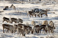 Canada, Manitoba, Hudson Bay. Two male caribou butting heads within their herd. Credit: Wendy Kaveney / Jaynes Gallery / DanitaDelimont.com