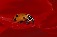 Ladybug Beetle. Hippodamia convergens