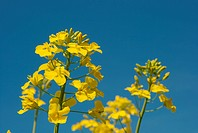 Blooming yellow rape plant under clear blue sky